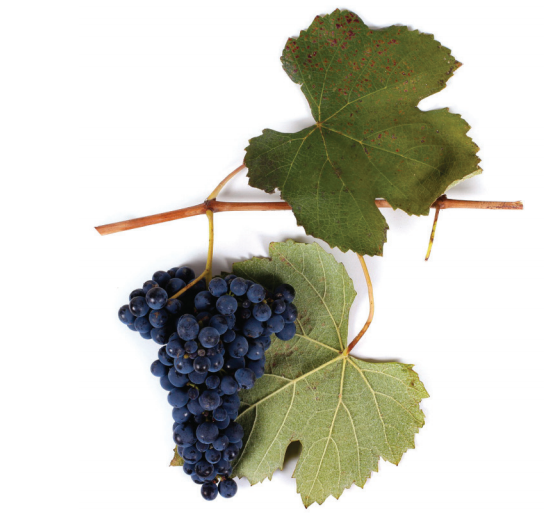 Otskhanuri Sapere grape